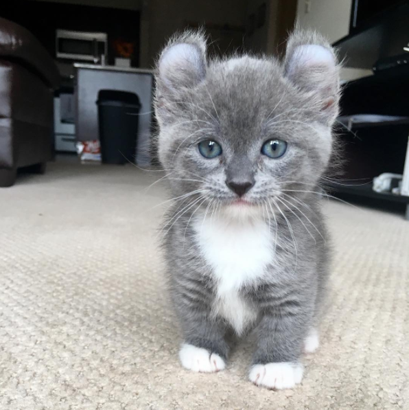 10. Эти кошки действительно быстро бегают животные, кошка, манчкин