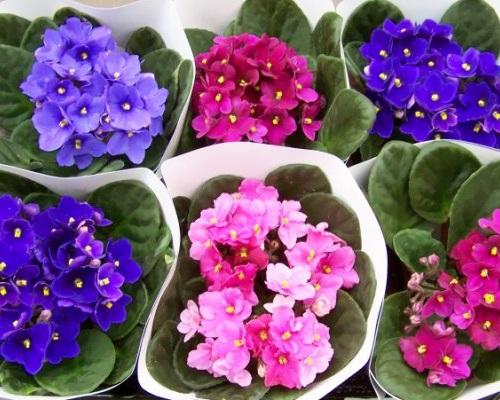 Фиалка цветы уход в домашних условиях
