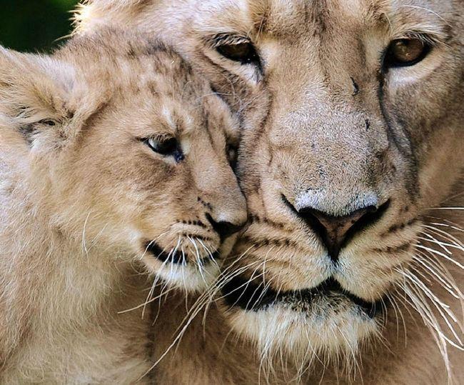 """В мире животных - мама рядом (47 фото) """" Караул.РУ"""