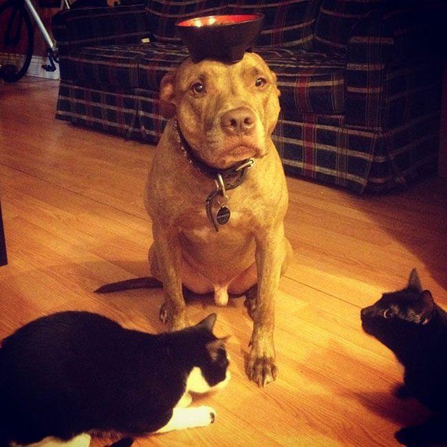 Скаут является одной из самых спокойных собак