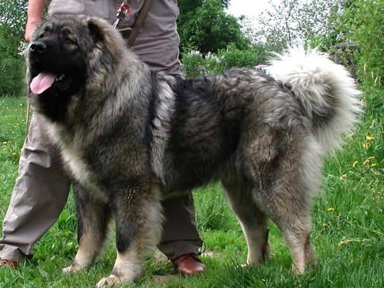 кавказская сторожевая собака фото