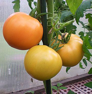 О  семенах низкорослых томатов
