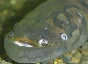 Рыба-нож семейства гимнотовых