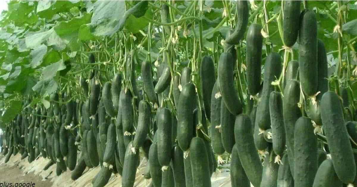 Старый фермер рассказал 10 секретов высокого урожая огурцов