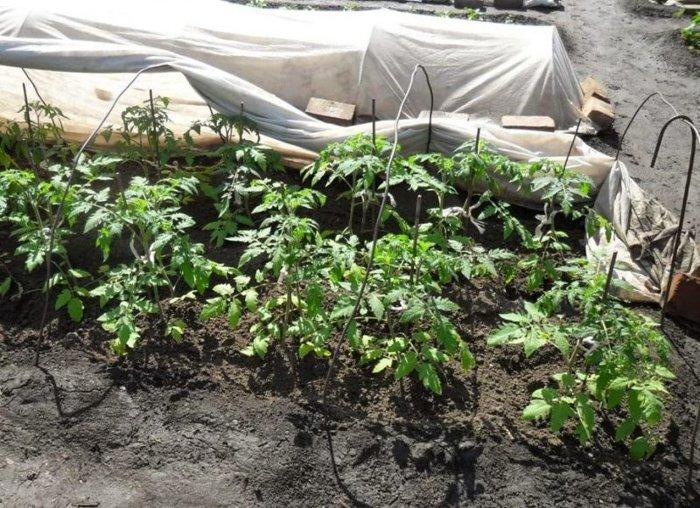 Если вы садите помидоры, то обязательно бросайте ЭТО в лунку...