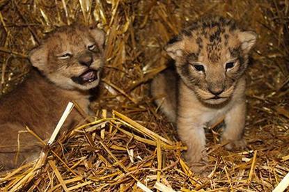 Шведский зоопарк признался в убийстве девяти львят