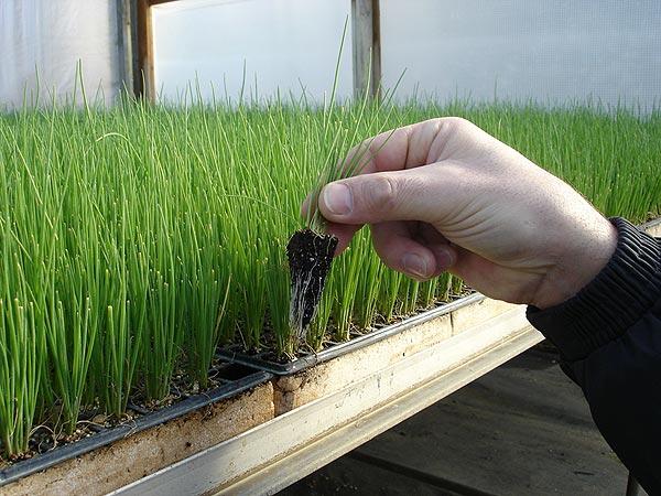 как сеять лук семенами