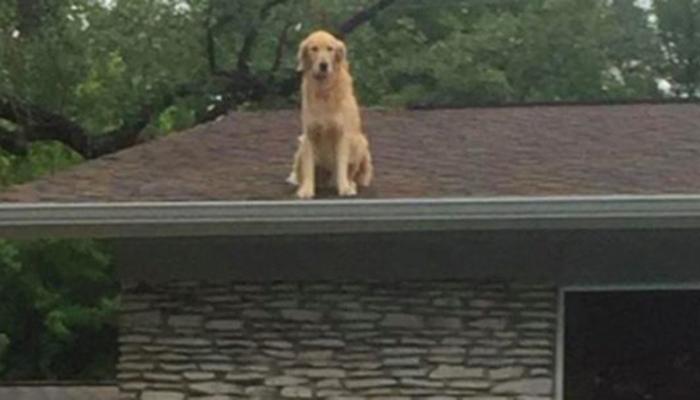 Что собака делает на крыше