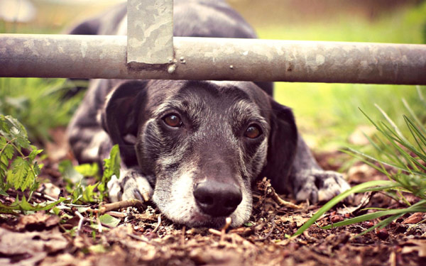 Виноватая собака, старая собака, фото фотография картинка