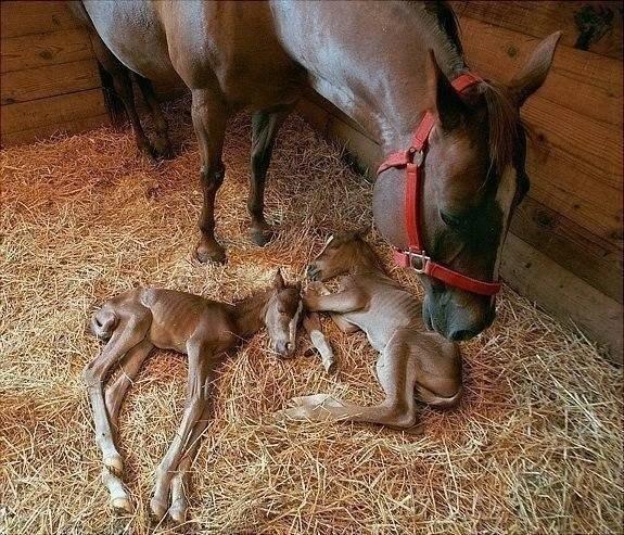 Новорожденные Близнецы! Очень редкий случай у лошадей