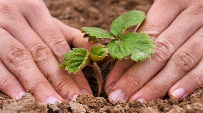 Саженец клубники не должен быть сильно заглублен в почву