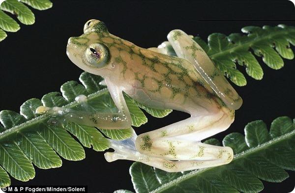 Самцы стеклянной лягушки и их будущее потомство
