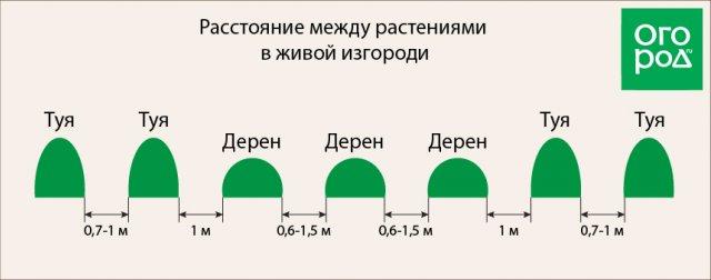 Расстояние между группами растений в живой изгороди