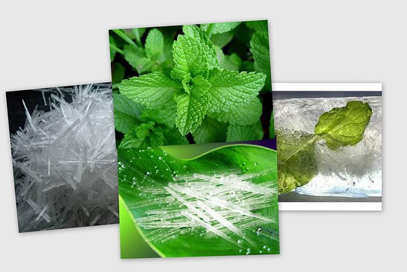 полезные свойства мяты для организма