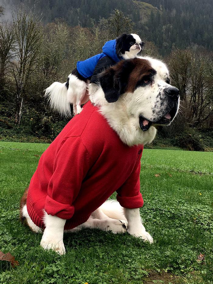 Маленькая собачка использует огромного сенбернара как транспортное средство