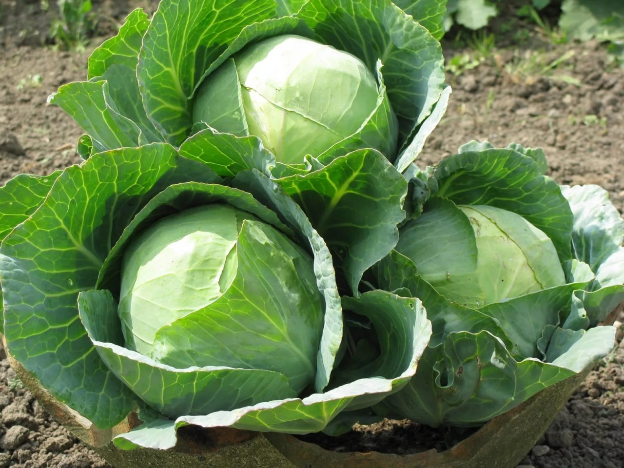 Как удобрять капусту картошкой