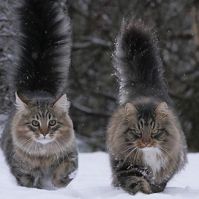 Какие шикарные котики