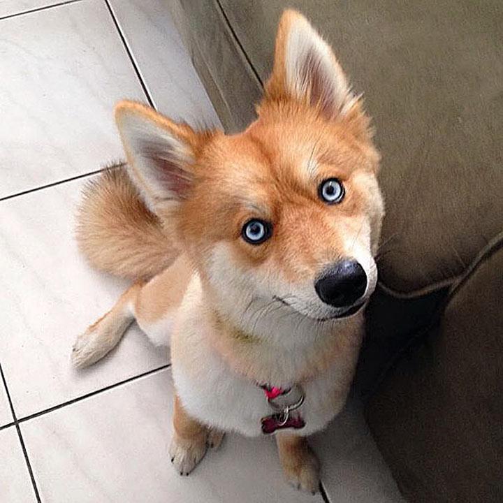 Необычная собака-лиса сводит с ума интернет-пользователей