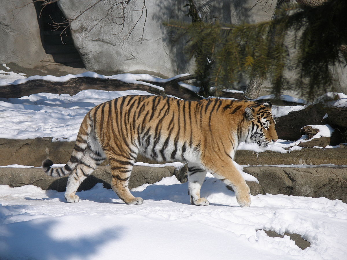Тигр напал на охотника в Приморском