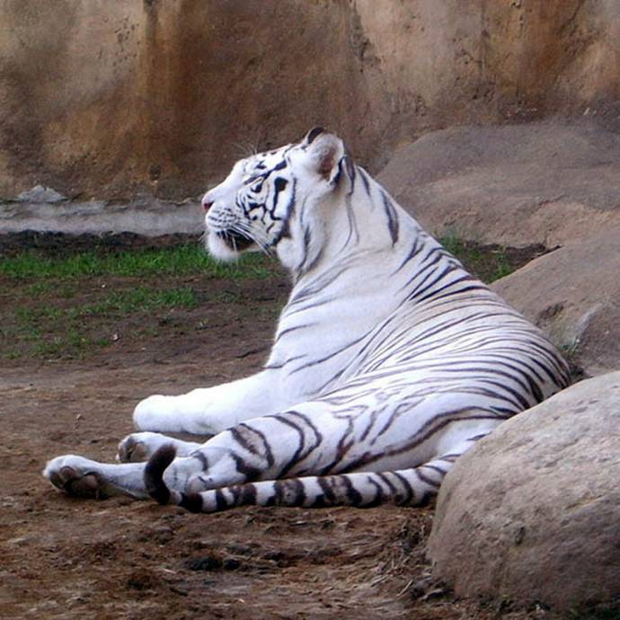 Раненый тигр кончает