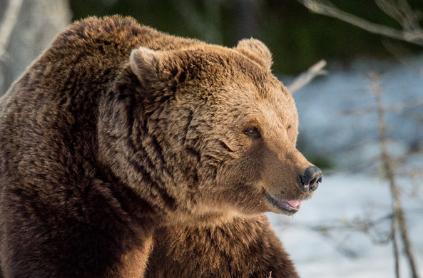 Медведь в Сибири украл у охотника два ружья