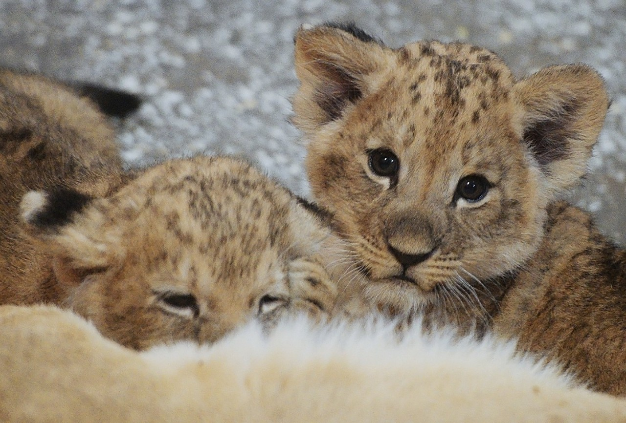 """""""Не было места"""". Шведский зоопарк признал убийство девяти здоровых львят"""