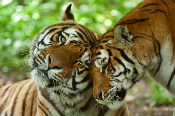 Спасенных в Приморье тигров выпустят на волю