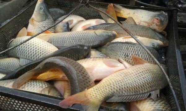 ВНижегородской области за2018 год производство рыбы выросло на61%