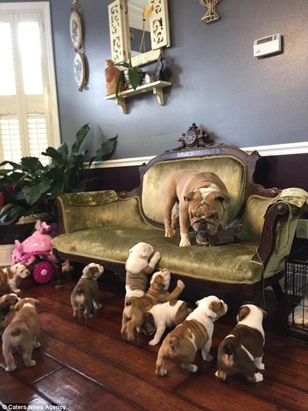 Папам тоже нужен отдых! Бульдог спасается бегством от 9 щенят