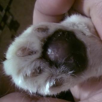 Холодные лапы у кошки, что это значит?