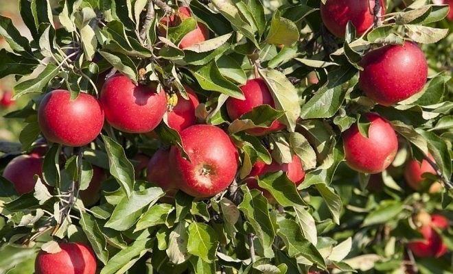 Что нужно сделать в плодовом саду осенью