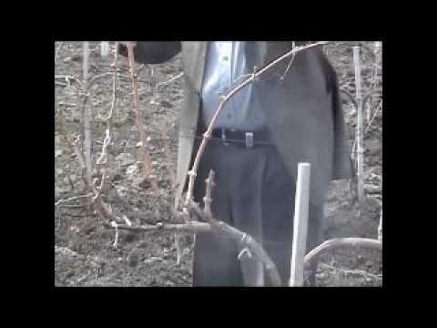 Формирование виноградного куста (part 2-2)
