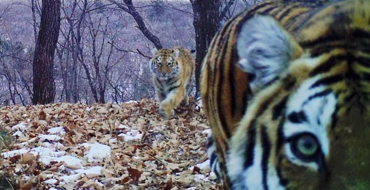Тигрица сделала несколько селфи в заповеднике «Земли леопарда»