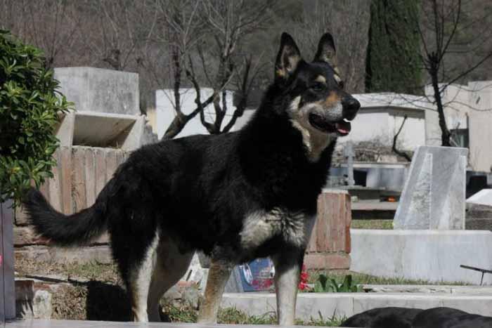 Собачья верность. Капитан - верный пес, который приходит на могилу своего хозяина вот уже 11 лет
