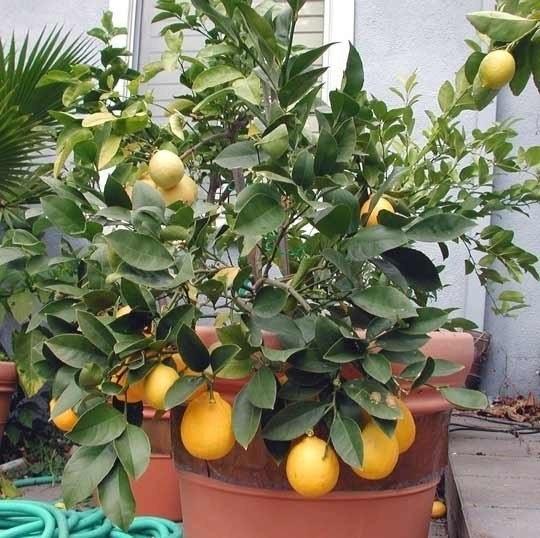 Выращивание лимонов и уход в домашних условиях 127