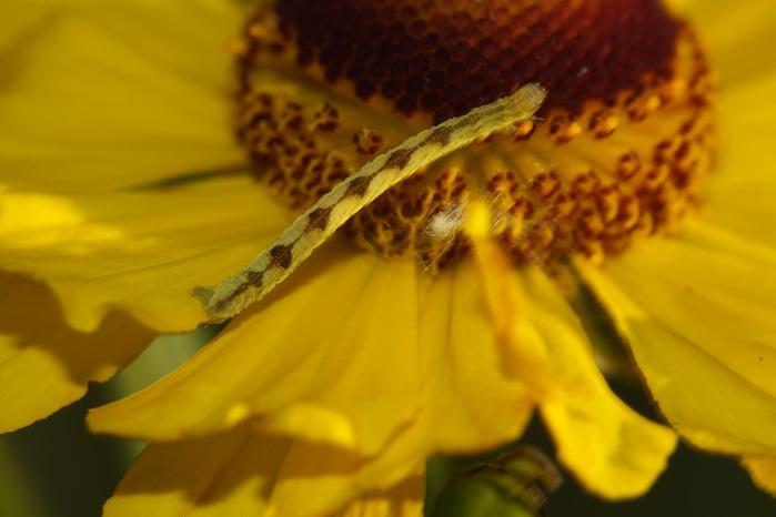 90089486 0 653a3 925554a7 XL Чудеса мимикрии: Гусеница цветок