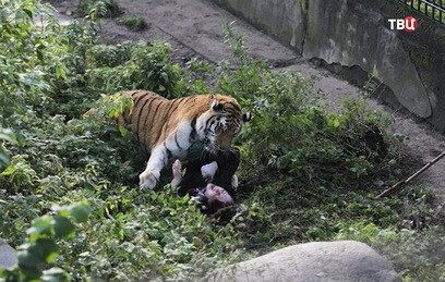 В Калининграде тигр напал на сотрудника зоопарка