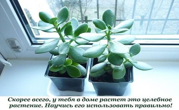 Толстянка, или денежное дерево, — растение, которое есть дома практически у...