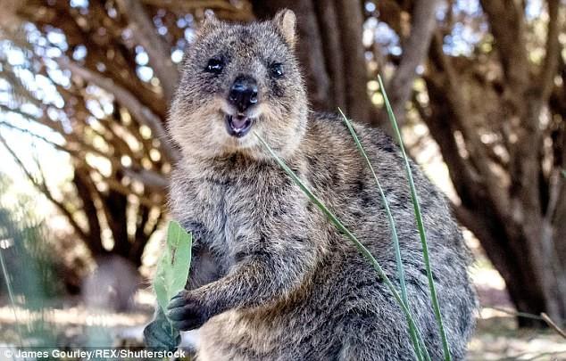 Квокка Галапагосы, австралия, животные, интересно, мадагаскар, познавательно, редкие животные, эндемики