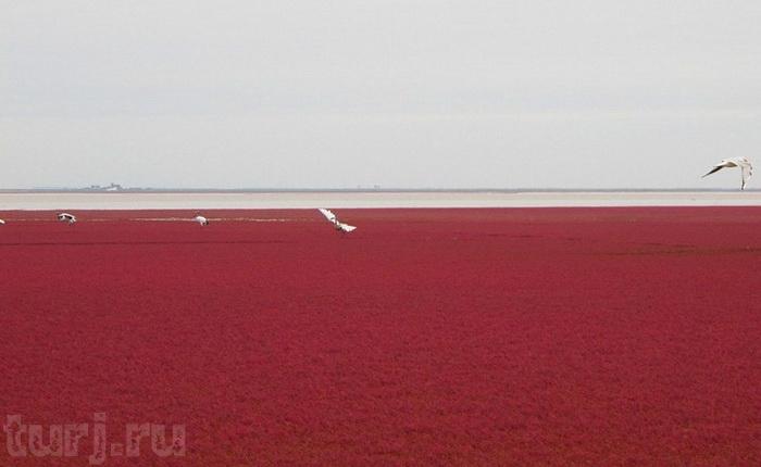 Red seabeach - красные берега тростниковых болот