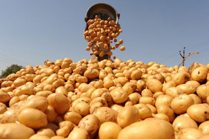 Как Миша сажал картошку