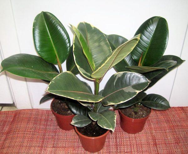 Фикус каучуконосный листьями не размножается!