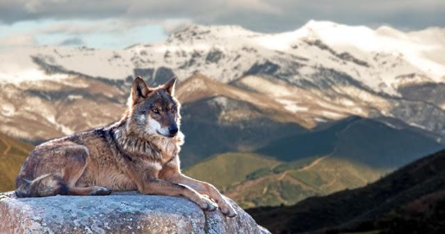 Насколько умны волки?