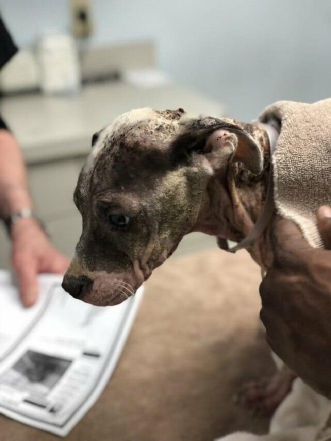 Найденный щенок был таким исхудавшим и больным, что люди не сразу поняли, что это собака крупной породы…