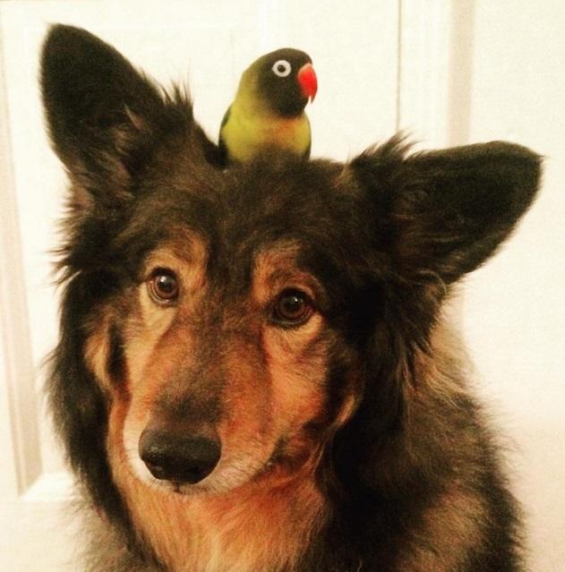 Эта птица уже 6 лет ездит верхом на своем друге