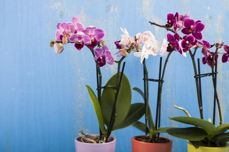 Как размножать орхидеи методом деления куста