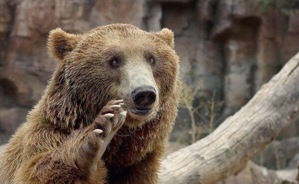 Голодные волки окружали медвежат, их мама умоляла о помощи, встретившись взглядом с дедом...