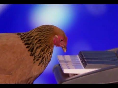 Курица блестяще сыграла на пианино! Я сначала не поверила своим глазам!