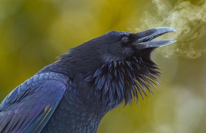 Что вы не никогда не знали о воронах