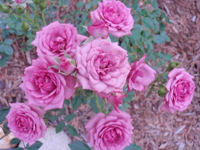 Миниатюрные сорта комнатных роз